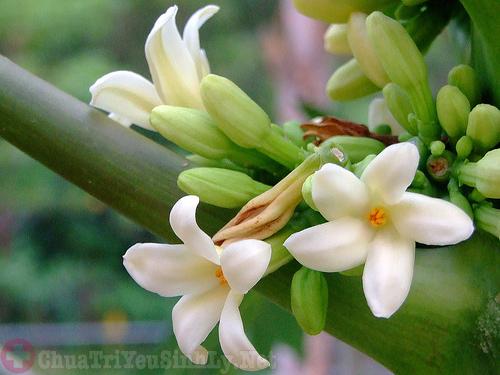 Hoa đu đủ đực chữa bệnh thận yếu