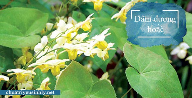 Dâm dương hoắc là một trong những loại thảo dược chữa yếu sinh lý tốt nhất