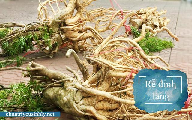 Rễ đinh lăng là thảo dược chữa yếu sinh lý hiệu quả