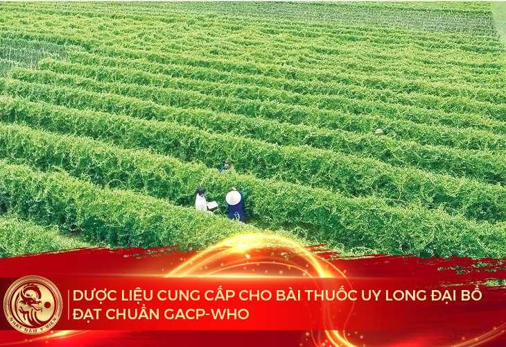 100% dược liệu cho bài thuốc Uy Long Đại Bổ đều đạt chuẩn GACP-WHO